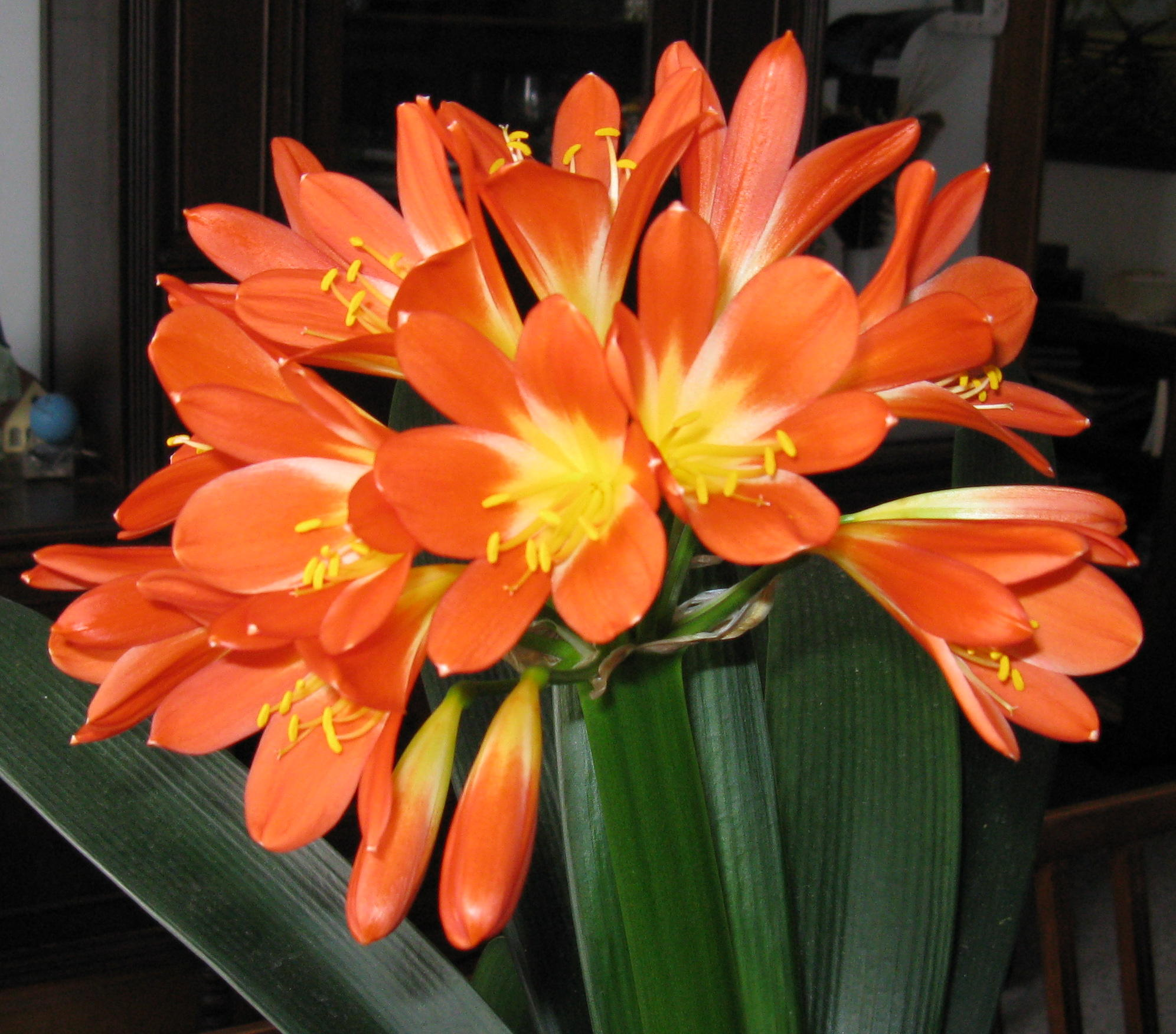 http://artaplantelor.files.wordpress.com/2010/03/full-bloom-clivia-0142.jpg